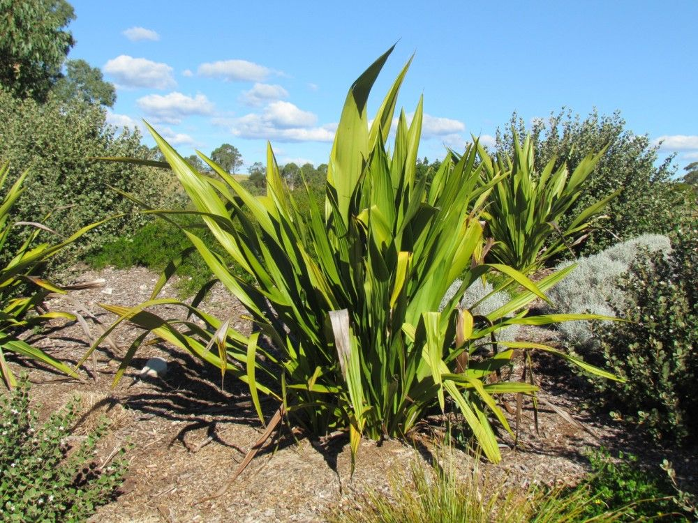 Doryanthes excelsa gymea lilly plant photos information for Plant that looks like long grass