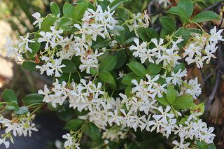 Trachelospermum Asiaticum Japanese Star Jasmine Plant