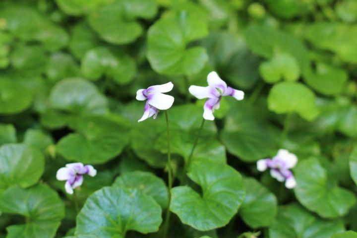 Viola Hederacea Native Violet Plant Photos Amp Information