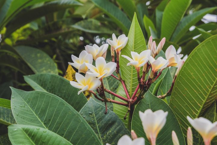 Frangipani's can be planted in pots if desired