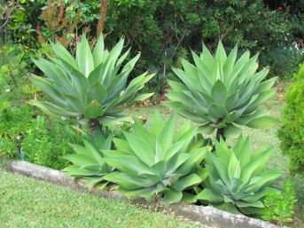 Agave attenuata (Foxtail Agave)