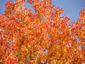 Leaves turn vibrant shades of orange and red