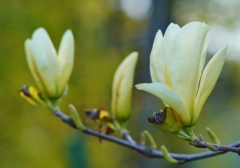 Make sure to plant Magnolia 'Elizabeth'  in prominent position to take advantage of the stunning display of flowers