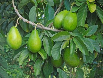 Pear shaped fruit of the Avocado Tree