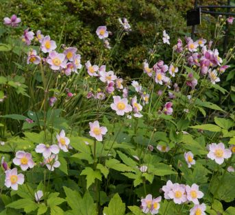 Anemone x hybrida (Japanese Windflower)
