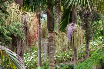 The large seed heads of the Bangalow Palm make for an interesting feature