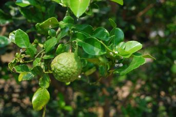 Knobbly fruit of Kaffir Lime trees