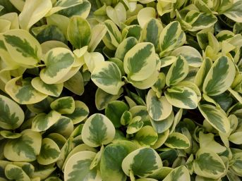 Golden variegated leaves of this Euonymus are ideal make it ideal for use in Japanese gardens
