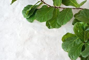 Fiddle Leaf Figs are an attractive indoor plant grown for its large green leaves