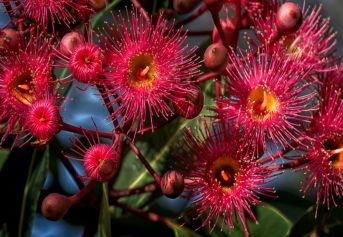 Vibrant red flowers of Corymbia ficifolia