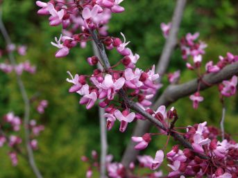 Pink flowers on bare stems and branches in early spring