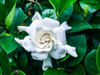 Gardenias require some care but if looked after they are an exquisite addition to your garden