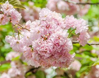 Flowering Cherries can be planted in Japanese or European inspired gardens