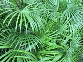 The large green leaves make for an excellent accent plant